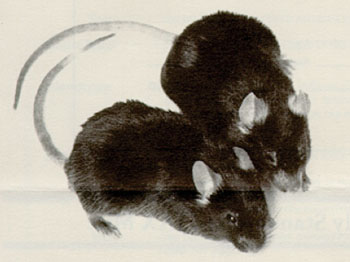 Image: The mouse in the upper right is the mutant mdx/mdx and is shown with a normal control (Photo courtesy of the Jackson Laboratory).