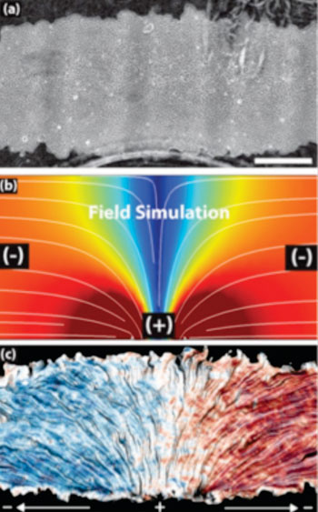 Image: The top image shows a patch of epithelial cells. The white lines in the middle image mark the electric current flowing from positive to negative over the cells. The bottom image shows how the cells track the electric field, with blue indicating leftward migration and red signaling rightward movement (Photo courtesy of Daniel Cohen, UC Berkeley).