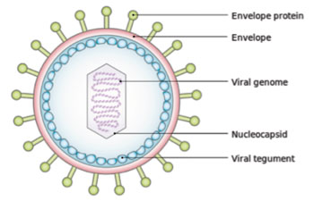 Image: Schematic diagram of the Epstein-Barr virus (Photo courtesy of Wikimedia Commons).