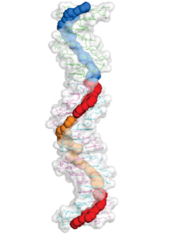Image: In this image, the drug CD27 completely covers the minor groove of the DNA complex (Photo courtesy of the Universitat Politècnica de Catalunya).