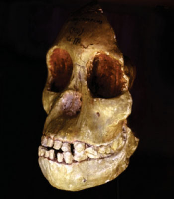 Image: The Taung Child fossil at the Evolutionary Studies Institute at Wits University (Photo courtesy of Wits University).