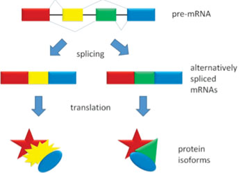 Image: Alternative splicing produces two protein isoforms (Photo courtesy of Wikimedia Commons).
