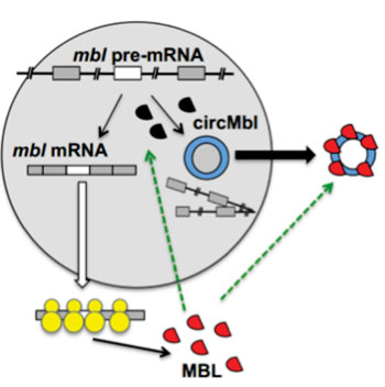 Image: Formation of circRNA—in this case circMbl—competes with the process of linear splicing (Photo courtesy of The Hebrew University of Jerusalem).