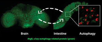Image: Activating a gene called AMPK in the nervous system induces the antiaging cellular recycling process of autophagy in both the brain and intestine. Activating AMPK in the intestine leads to increased autophagy in both the intestine and brain. Matthew Ulgherait, David Walker and UCLA colleagues showed that this 'interorgan' communication during aging can substantially prolong the healthy lifespan of fruit flies (Photo courtesy of Matthew Ulgherait, UCLA).