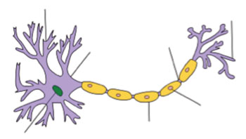 Image: Structure of a typical neuron dendrite (Photo courtesy of Wikimedia Commons).