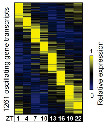 Image: Color coding of genes activated in the liver (yellow) as waves of their activation relative to the time of day. Zeitbeger times (ZT):  ZT0= 7 am, ZT3=10 am, ZT6=1 pm, etc. (Photo courtesy of Dr. Bin Fang, Perelman School of Medicine, University of Pennsylvania).
