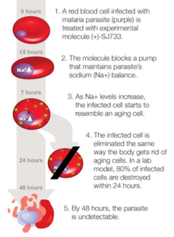 Image: Disruption and removal of malaria parasites by the experimental drug (+)-SJ733 (Photo courtesy of the University of California, San Francisco).