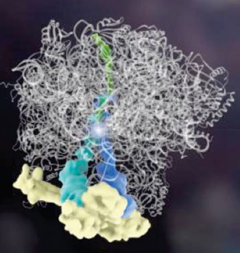 Image: A new finding goes against dogma, showing for the first time that the building blocks of a protein, called amino acids, can be assembled by another protein, and without genetic instructions. The Rqc2 protein (yellow) binds tRNAs (dark blue, teal), which add amino acids (bright spot in middle) to a partially made protein (green). The complex binds the ribosome (white) (Photo courtesy of Janet Iwasa, PhD, University of Utah).