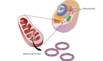Image: The Mseek technique uses enzymes to purify mitochondrial DNA by deleting the nuclear DNA, leaving behind the pure mitochondrial DNA to be sequenced (Photo courtesy of the Middle East Molecular Biology Society).