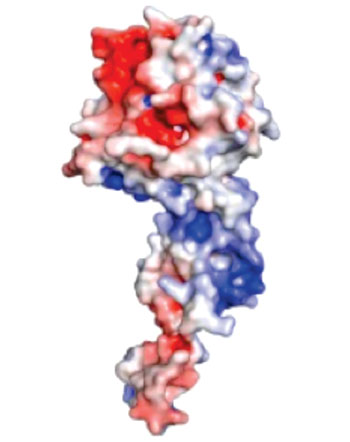 Image: A protein — shown in red, white, and blue — typically coats the genome of the Ebolavirus, providing protection from enzymes that can destroy the virus's genetic material. This protein coat is removed to allow the virus to replicate its genome in infected cells. Interfering with the removal and the return of the protein coat to the viral genome can kill the Ebola virus, a discovery that opens the door to more effective treatments (Photo courtesy of Washington University School of Medicine).