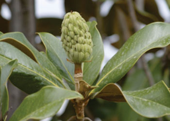 Image: Seed cone from Magnolia grandiflora, a primary source of honokiol (Photo courtesy of Wikimedia Commons).