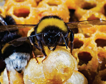 Image: The genomes of two key bumblebee species create a buzz in the fields of pollination and immunology: Shown Bombus terrestris, of which the first genome sequences and studies were now reported (Image courtesy of Sadd BM, Barribeau SM, et al., Genome Biology, April 2015)