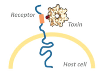Image: Bacterial toxins usually exert their full deadly effect in the host cell\'s interior. The toxins overcome the cell membrane by binding to a surface receptor, which conveys them into the cell\'s interior (Photo courtesy of Dr. Panagiotis Papatheodorou, University of Freiburg).