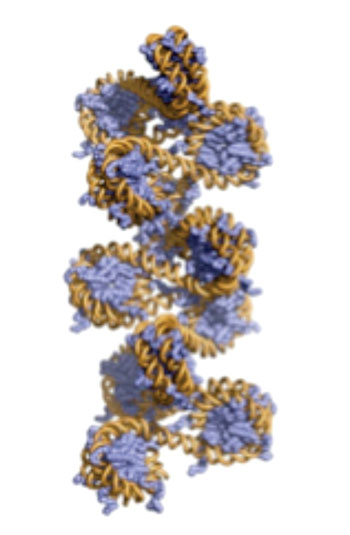 Image: Three-dimensional model of chromatin (Photo courtesy of Dr. Beat Fierze, Ecole Polytechnique Fédérale de Lausanne).