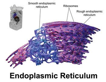 Image: Three dimensional rendering of the endoplasmic reticulum (Photo courtesy of Blausen Gallery 2014 via Wikimedia Commons).
