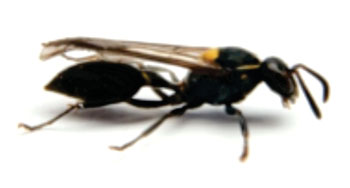 Image: The Brazilian social wasp Polybia paulista is the source of the Polybia-MP1 anticancer peptide (Photo courtesy of Dr. Mario Palma, Sao Paulo State University).