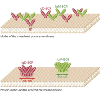"Image: Researchers previously assumed that receptors such as the antigen receptors of class Immunoglobulin M and Immunoglobulin D are freely diffusing and equally distributed molecules on the membrane. However, the new study shows that these antigen receptors are organized in different membrane compartments, also called ""protein islands\"", with diameters of 150–200 nanometers (Photo courtesy of Reth Research Group, BIOSS Centre for Biological Signaling Studies of the University of Freiburg)."