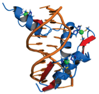 Image: representation of a protein (blue), which contains three zinc fingers in complex with DNA (orange). The coordinating amino acid residues and zinc ions (green) are highlighted (Photo courtesy of Wikimedia Commons).