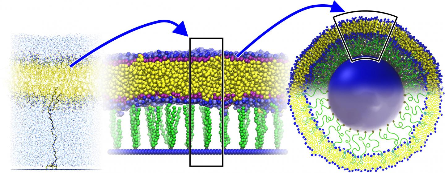 Image: A liposome, stabilized by anchoring its membrane to a solid cord with polymeric tethers, could provide a more stable carrier for nanoparticles (Photo courtesy of ACS Nano: http://pubs.acs.org/doi/10.1021/acsnano.5b03439)