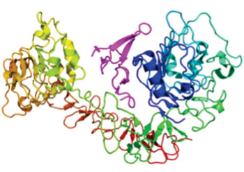 Image: Diagram of the epidermal growth factor receptor (EGFR) (rainbow colored, N-terminus = blue, C-terminus = red) complexed to its ligand epidermal growth factor (magenta) (Photo courtesy of Wikimedia Commons).