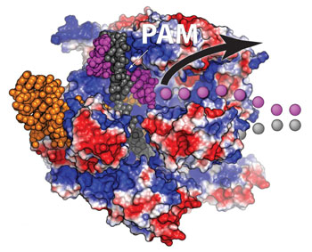 Image: A view of the Cas9 protein (red and blue) bound to a double strand of DNA (purple and grey). After both strands are cut, one DNA strand (purple dots) is free and able to bind with a piece of DNA to be inserted at the break. This behavior can be utilized to significantly boost the efficiency of gene editing (Photo courtesy of Dr. Christopher Richardson, University of California, Berkeley).