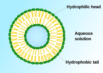 Image: Liposomes are composite structures made of phospholipids and may contain small amounts of other molecules sequestered inside. Various targeting ligands may be attached to their exterior in order to allow their surface-attachment and accumulation in pathological areas (Photo courtesy of Wikimedia Commons).