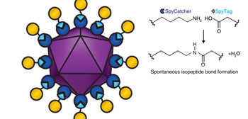 Image: Diagram of a viral vectored vaccine built using the SpyCatcher/ Tag combination. SpyCatcher (dark blue) is fused to the virus-like particle (purple). SpyTag (light blue) is fused to antigens (yellow). When SpyTag forms an isopeptide bond with SpyCatcher (diagram right), the antigens are attached to the virus-like particle (Photo courtesy of the University of Oxford).