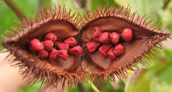 Image: Open fruit of the achiote tree (Bixa orellana), showing the seeds from which annatto is extracted (Photo courtesy of Wikimedia Commons).