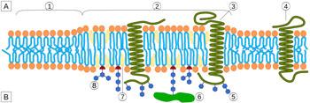 Image: The lipid raft organization, region (1) is standard lipid bilayer, while region (2) is a lipid raft (Photo courtesy of Wikimedia Commons).