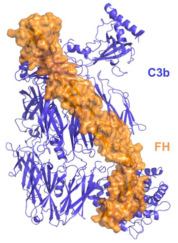 Image: Molecular structure of factor H bound to C3b. In order to avoid self-attack, regulatory proteins such as factor H bind with C3b, a central component of the enzyme C3 convertase, to help the immune system recognize the body's own tissue and keep complement in check (Photo courtesy of the University of Pennsylvania School of Medicine).